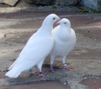 palomas blancas para celebraciones